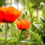 poppies-1445425-m