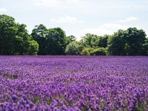 lavender-1081814_1280