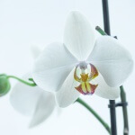 orchid-613190_1280